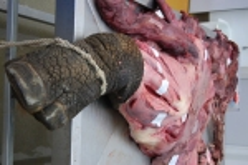Gratuitious rhinoceros leg.