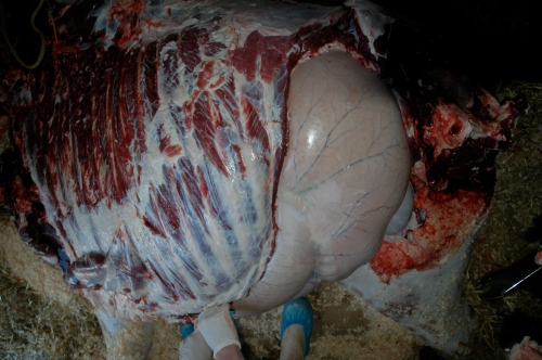 Left side of chest, rumen showing through behind ribcage.