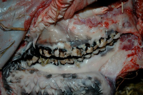 The left cheek's teeth-- and check out the spines on the inside of the cheek! Keratinous growths to aid in chewing, food movement, digestion etc. These extend into the stomach, too! Amazed me first time I saw them, in an okapi (giraffe cousin).