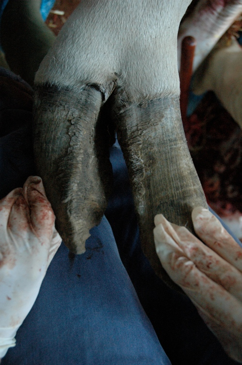 Like rhinos, elephants and many other large mammals, giraffes (especially in captivity) are vulnerable to foot/hoof pathologies, such as this very skewed/divergent pair of nails. This can lead to them walking very abnormally, getting infections or arthritis and other problems, so it is very serious.