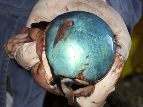 The tapetum; reflective coating of the eye that can aid in night vision and protect the eye a bit. Gorgeous!