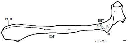 Right ischium (hip bone) of an adult ostrich in side view, showing some muscle origins and stuff, with a 1cm scale bar. Cringe. My amateurish line drawing. I hate it and wish I'd done better.