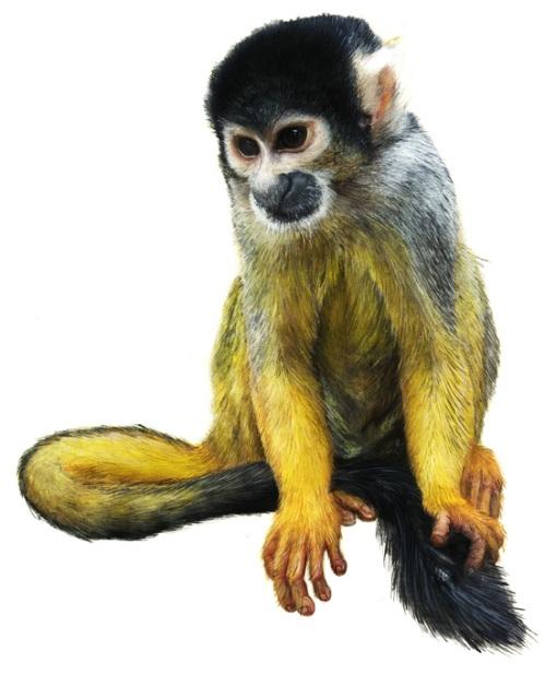 sq-monkey