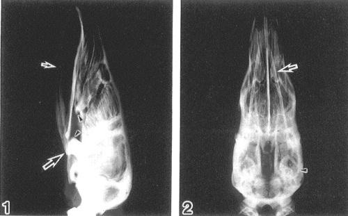 Pangolin skull x-ray