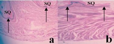 Pangolin stomach histology