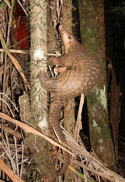 Pangolin in Borneo