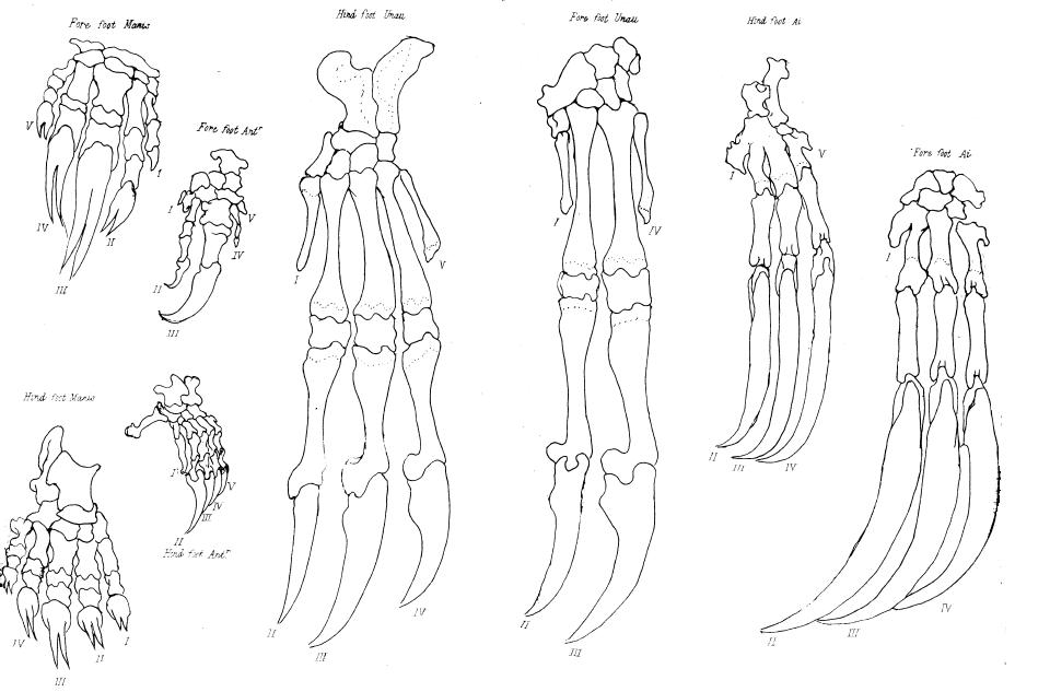 Chicken Foot Drawing