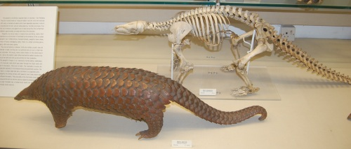 Pangolin body and skeleton