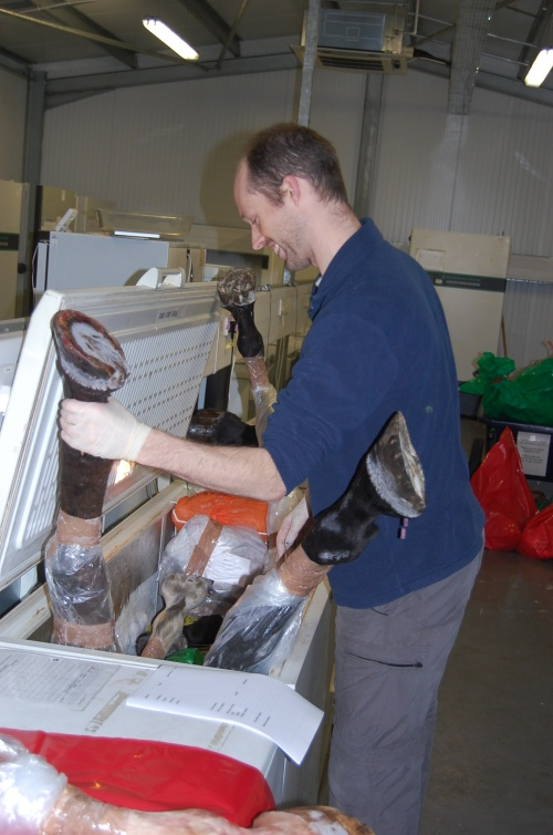 Research Fellow Jeff Rankin wrangles some horse legs into their freezer.