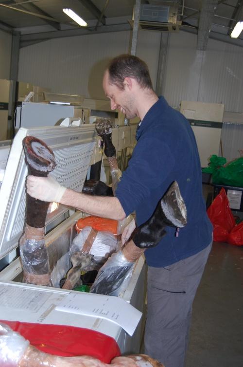 Research Fellow Jeff Rankin wrangles some horse legs into their freezer.