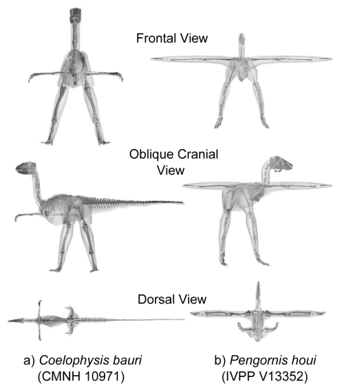 Models of a basal dinosaur and bird, showing methods and key differences in body shape.