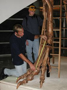 Me and a Mystery Scientist (then an undergrad; now a successful palaeontologist), measuring up a successful Cretaceous hypercarnivore at the UCMP; from my PhD days at Berkeley, ~2000 or so.