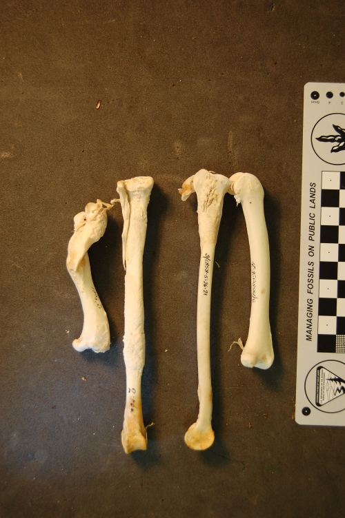 Femora and tibiae of the Blue-throated Piping Guan, Aburria cumanensis. Amazing pathology involving the left femur (broken, rehealed) and tibiotarsus (secondary infection?).