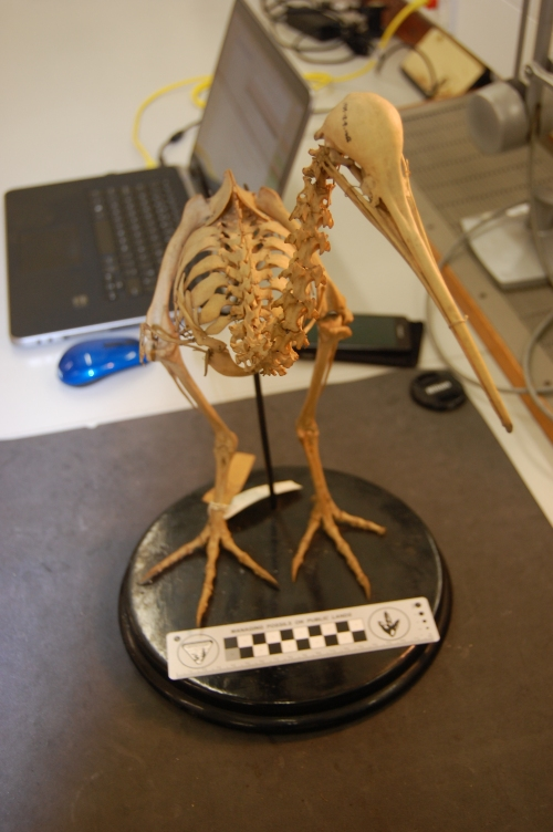 Front view of the back/hips of the Great Spotted kiwi, Apteryx haasti.