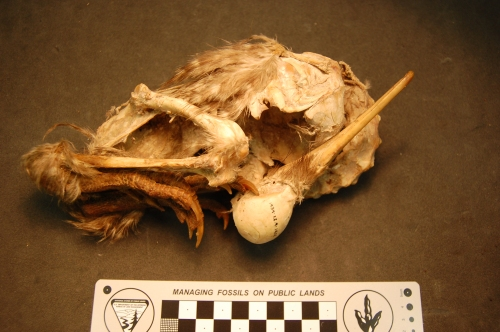 Mummified Owen's Little Spotted kiwi, Apteryx owenii.