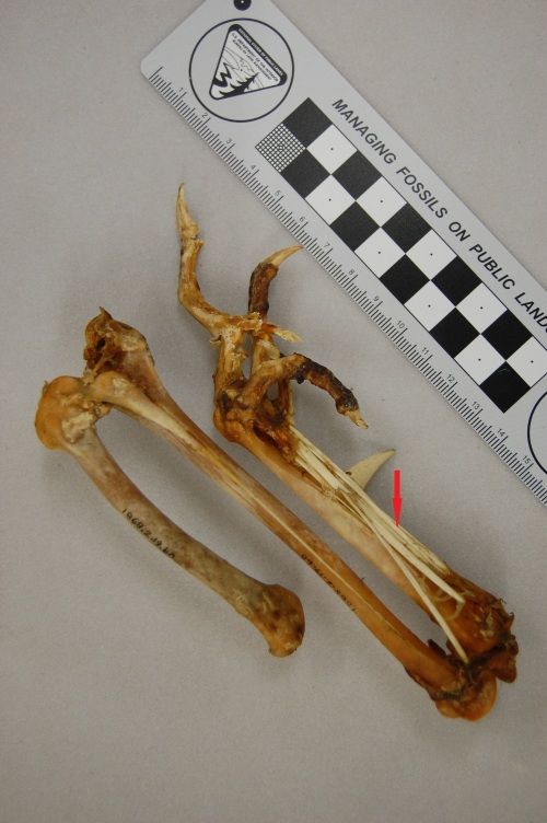 The hindlimb of a Polish Silver Laced breed, nicely showing the ossified tendons (red arrow) along the tarsometatarsus. Why these tendons turn into bone is one of the great unsolved mysteries of bone biology/mechanics and avian evolution. Check out the famed feather crest here.