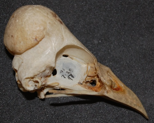 Skull of a male maleo, Macrocephalon maleo.