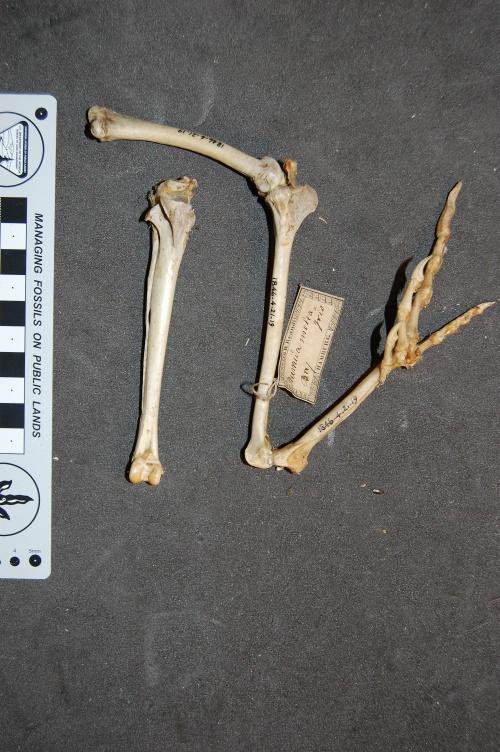 Left leg of a guineafowl (with right tibiotarsus behind it) showing both patellae in articulation; in medial (inside) view. The  patella is the little rectangular bit of bone in the top middle of the screen, interposed between femur and tibiotarsus.