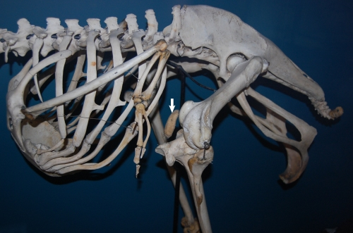 Exhibited ostrich skeleton in left side view showing the patella (white arrow).