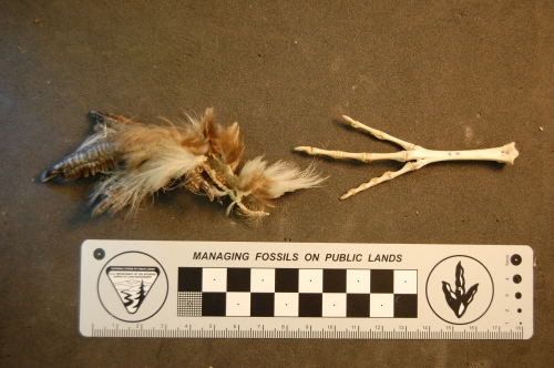 Foot of a Russian Black Grouse, Tetrao tetrix (nothing to do with a certain videogame), with and without flesh.