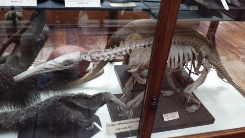 Nice anteater skeleton and skin.