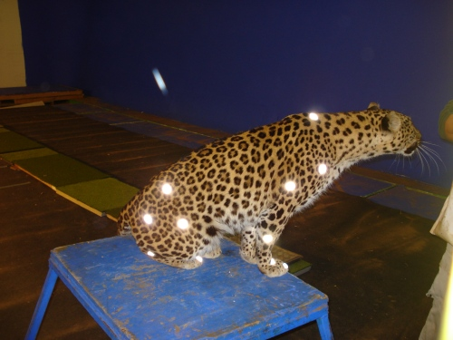 How the leopard got glowy spots: motion capture markers from our past studies.