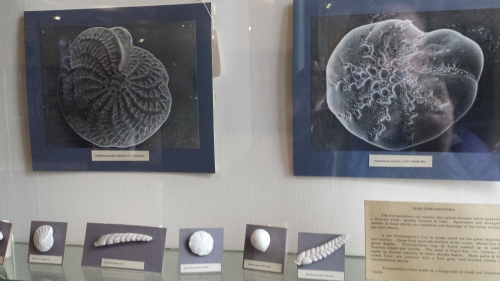Who doesn't like a good giant foramanifera image/models? Not me.