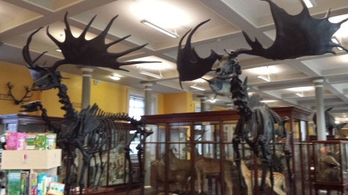 """Giant European deer (""""Irish elk""""). I looked at these and thought, """"why don't we see female deer without antlers ever? then noticed one standing next to these; photo was crappy though. :("""