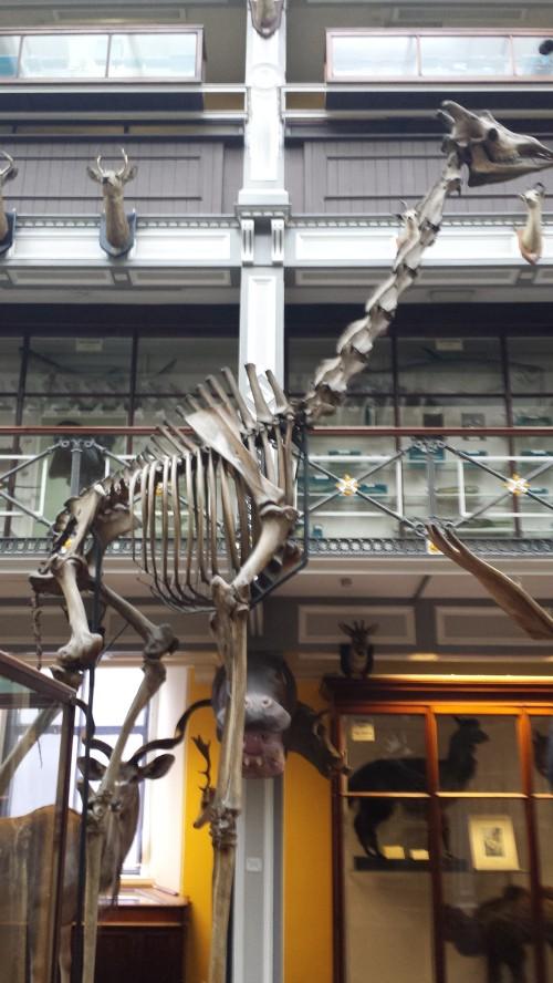 Superb mounted skeleton of giraffe (stuffed skin was standing near it).