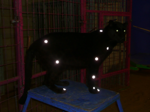 Black leopard with motion capture markers on it, and glowing eyes; from our past studies.