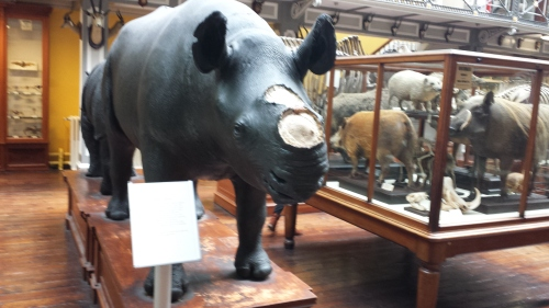 Sad display of a stuffed rhino with the horn removed, and signage explaining the problem of thefts of those horns from museum specimens of rhinos worldwide.