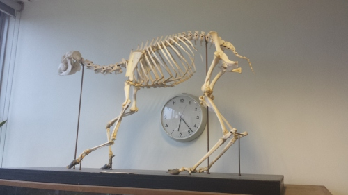 Sika deer in awkward posture in Univ Coll Dublin zoology building's foyer.