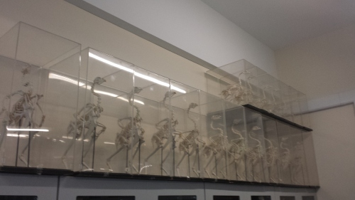 A whole lotta chicken skeletons in a UCD teaching lab.