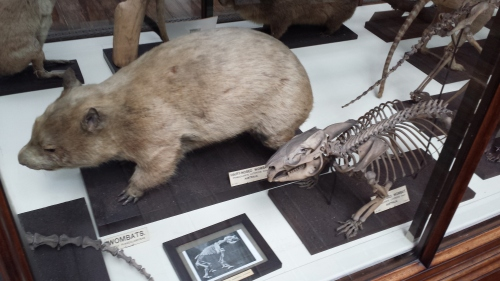 Nice anteater skeleton and skin.
