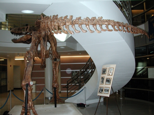 The Berkeley cast of the Wankel (MOR555) specimen of T. rex. Will we ever see the end of the predator/scavenger non-issue?