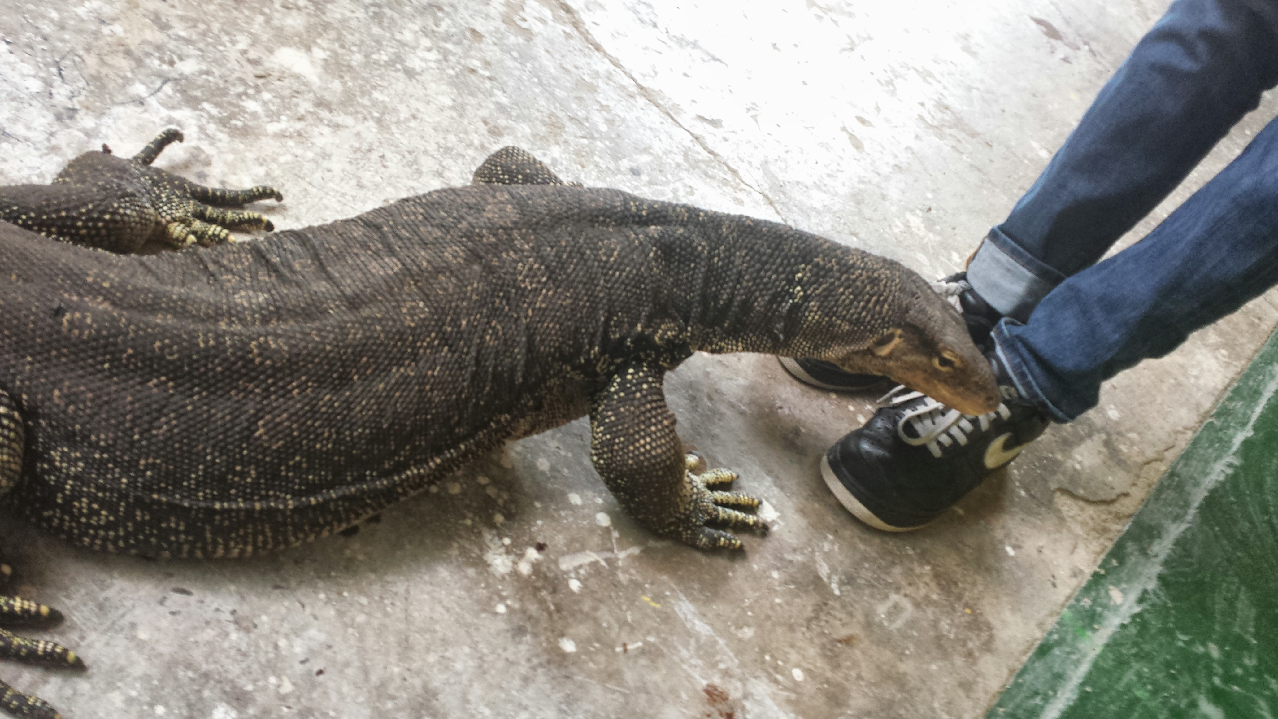 Water monitor full grown