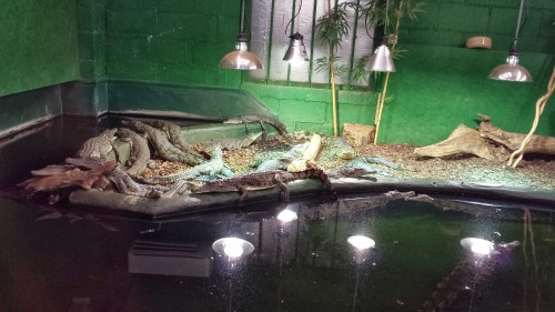 ~1 meter long juvenile Nile crocodiles, bred at the facility.