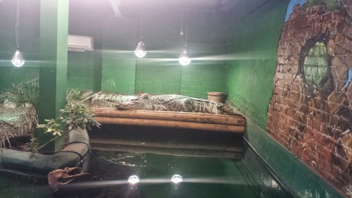 Siamese crocodiles. They were apart when we entered, then got snuggly later, as I've often seen this species do.