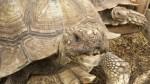 tortoise-nom (1)