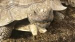 tortoise-nom (2)