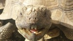 tortoise-nom (3)