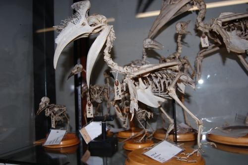 Buceros skeleton UMZC