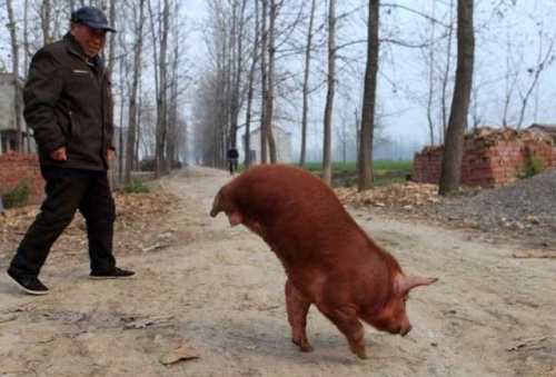 Another crazy case; but this one I was able to track down more about after reading the Reddit post here. The Getty images page says: This photo dated November 24, 2011 shows a Chinese farmer showing off his prize swine, which he named 'Strong Pig', as the disabled animal keeps its 30kgs of body suspended in midair, in Mengcheng, east China's Anhui province. The pig has become an internet sensation around China due to its ability to walk around balancing on its two front legs. TOPSHOTS CHINA OUT AFP PHOTO (Photo credit should read STR/AFP/Getty Images)