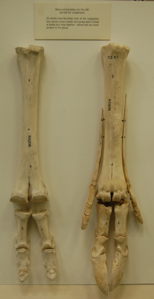 Two ways to evolve a splayed hoof for crossing soft ground: 2 toes that are flexible and linked to big pads (camel), and 2 main toes that allow some extra support from 2 side toes when needed (elk). At Univ. Mus. Zoology- Cambridge.
