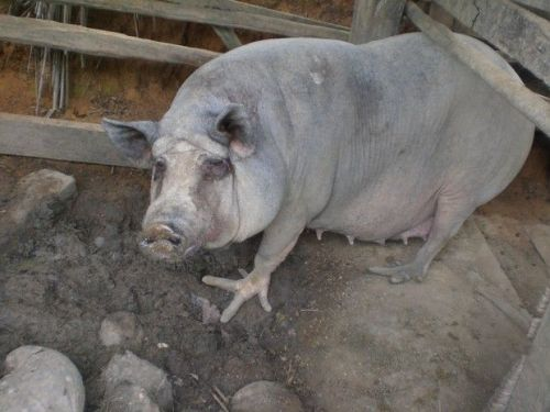 I know little about this case, posted on Reddit (link here), except that the overgrown, grossly deformed toes/hooves of this pig are like nothing I've seen before! This almost gave me nightmares. Poor chicken-footed pig!