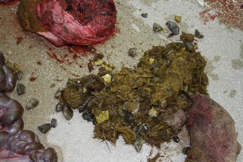 Gizzard/ventriculus, upper stomach/proventriculus (upper left), and stomach contents: grass and stomach stones (gastroliths).
