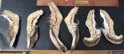 Craaaaaaazy overgrown ?cow hooves, from the RVC's pathology collection.