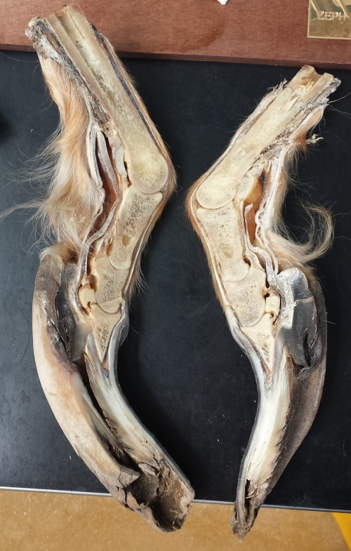 Wayyyyyyyyy overgrown hooves of a ?sheep, from the RVC's pathology collection.