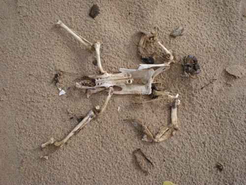 My first encounter with a penguin in the wild is probably this specimen washed up on a beach in Uruguay. I'm going with the tentative ID of a juvenile penguin skeleton; probably Magellanic.