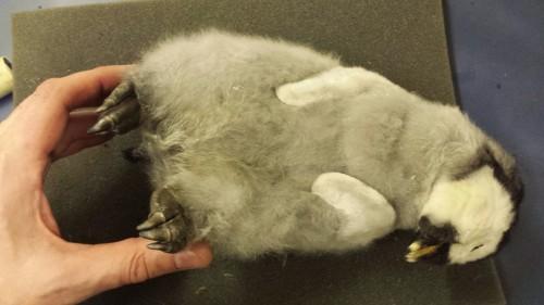 Awwwwww... baby Gentoo penguin (Pygoscelis papua). Unhappy feet, I'm afraid.